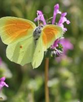 Papillon Citron de Provence - Cléopâtre -  © PescalunePhoto