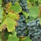 Vendanges 2011 au Domaine d'Aupilhac - Sylvain Fadat - Mathieu et Dominique BOUDET - Patricia Huczek - Montpeyroux - Terrasses du Larzac - raisin - vigne