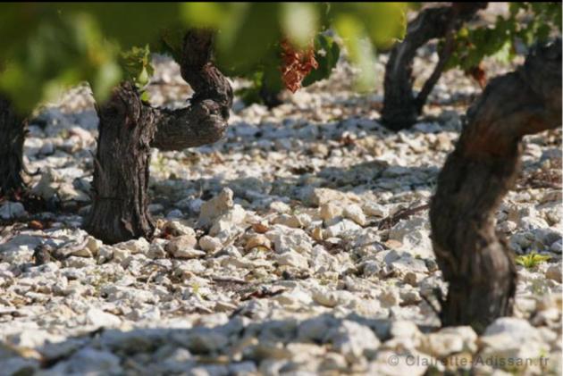 AOC Clairette du Languedoc - ©Photo : clairette-adissan.fr © ©Photo : clairette-adissan.fr