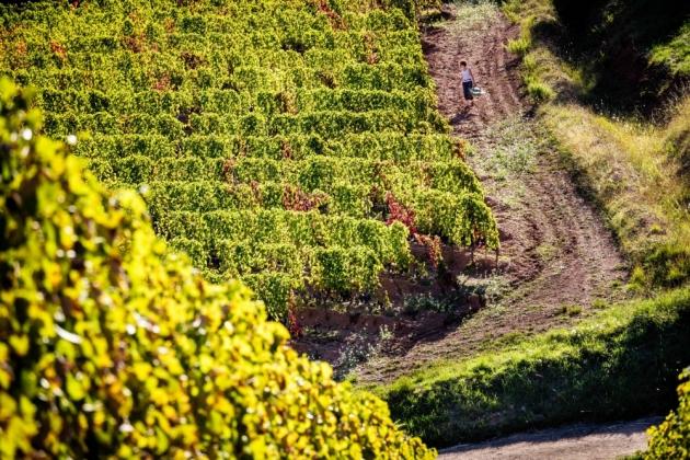 Concours Photos de Vendanges 2015 par WINERIST - Gaylord Bruguière dans les vignes de La Madura - St Chinian - Votez!