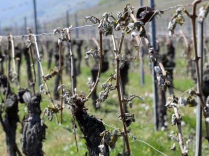 Dégâts du gel dans dans les vignes de l'Hérault en avril 2017 © Terre de Vins