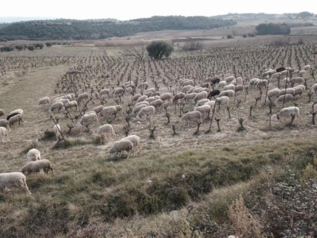 """Désherbage """"buccal"""" au Domaine d'Aupilhac à Montpeyroux - mars 2015 © Sylvain & Désirée Fadat"""