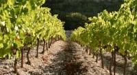 escalette vigne