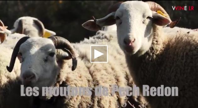 Les moutons de Pech Redon via WINE LR - mars 2017