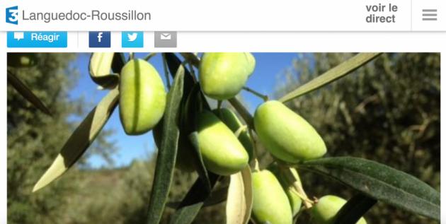 Les olives de Lucques (Hérault, Aude) obiennent leur AOC en octobre 2015 - BLOG TRINQUE FOUGASSE - France 3
