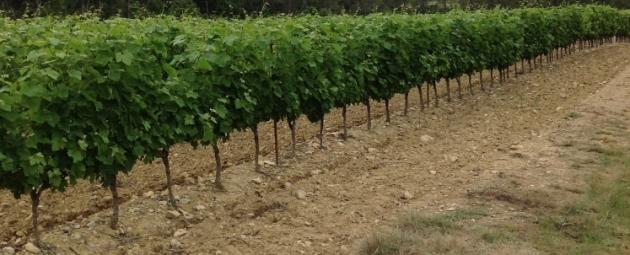 Vignes Buissonnières 2012 - les vignes du Pic Saint Loup - Valflaunès